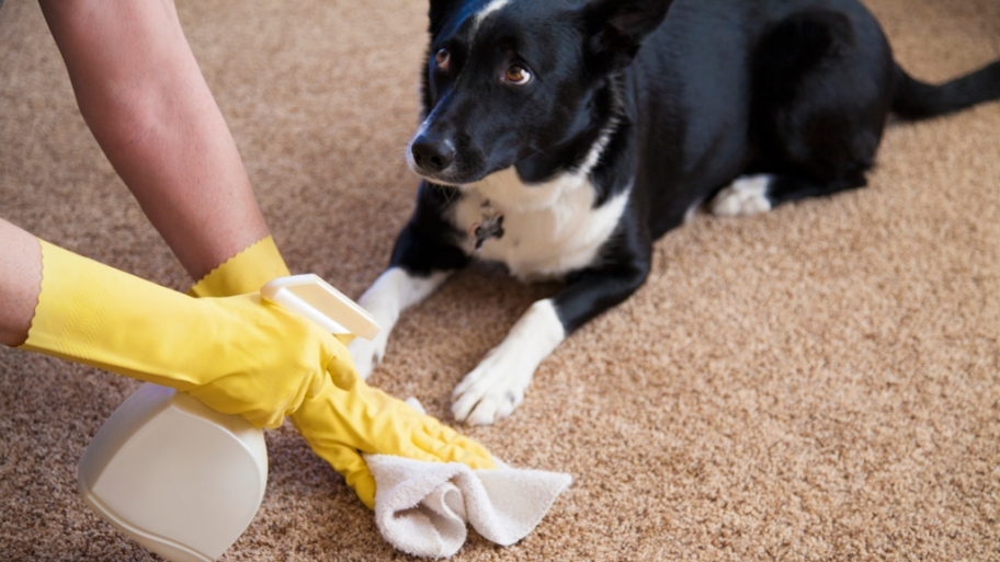 cleaning-pet-stain-carpet