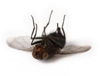 dead_fly