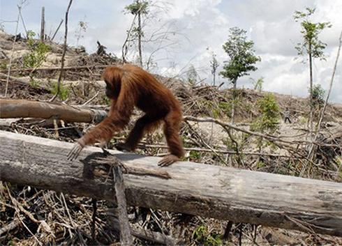 mégkisebb majmóca