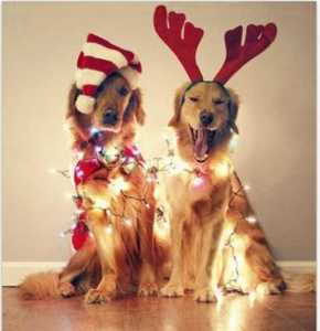 funny-dogs-and-christmas-lights-26