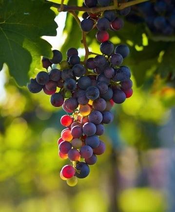 szőlővágva